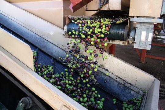 sorting olives