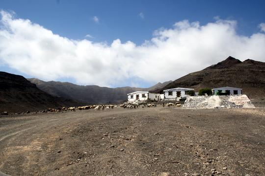 Fuerteventura goats
