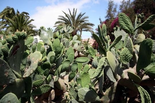 Cacti Fuerteventura