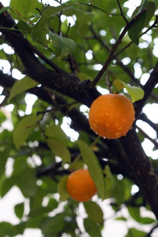 Oranges sevilla