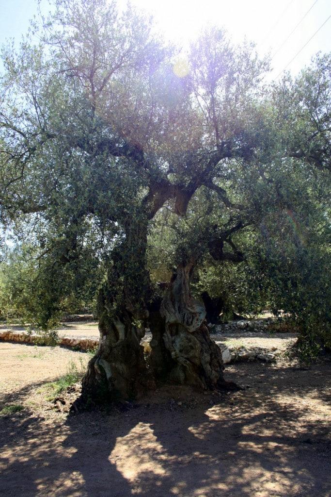 Millenium olive trees