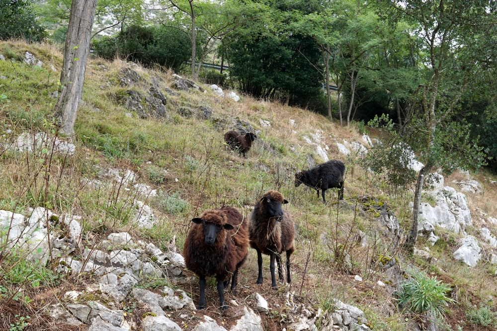 Asturian sheep roaming free at Hotel Posada del Valle in Asturias.