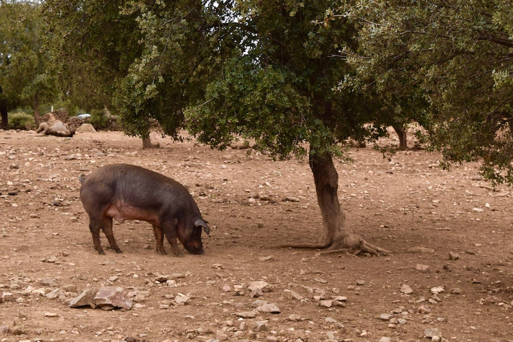 The key to the best Spanish ham is acorns. This Iberian pig is rummaging for them in the open fields of Guijelo, Spain.