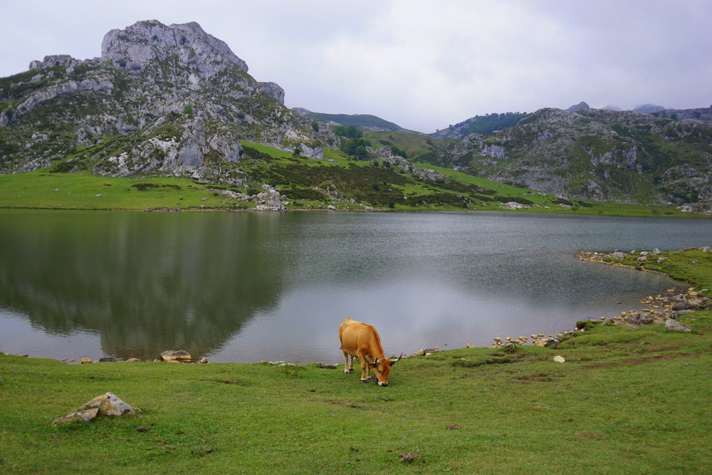 The cows that graze at the Lakes of Covadonga aren't shy!