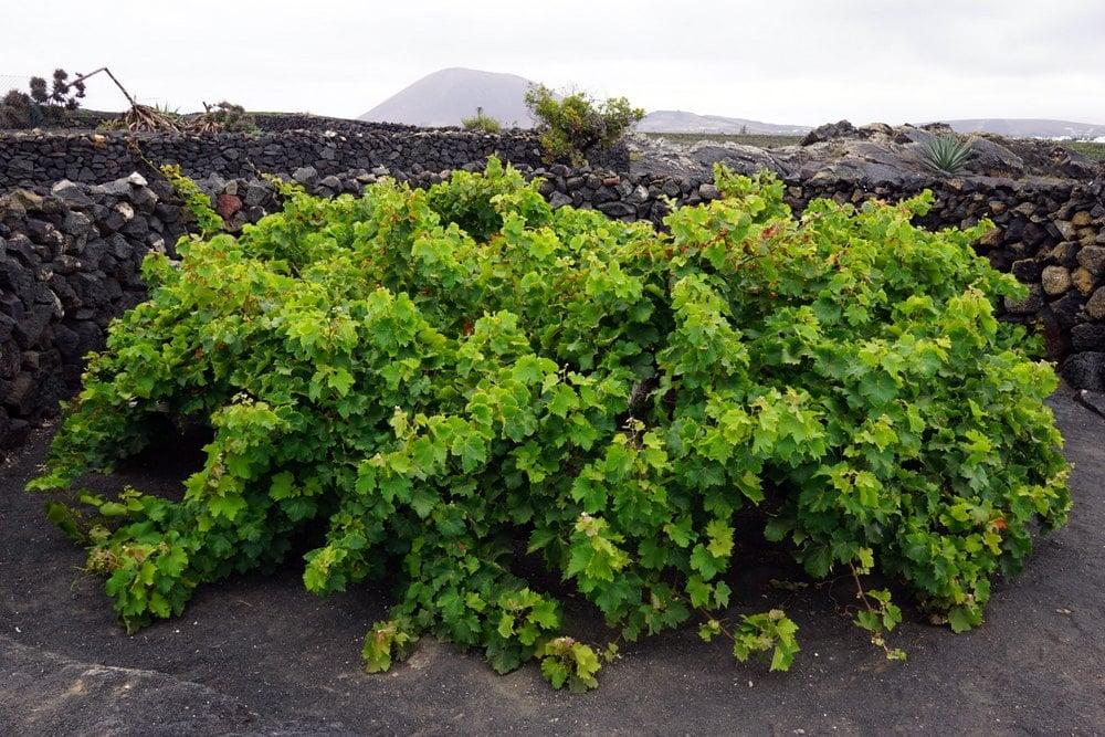 wine tasting tour in Lanzarote Bodega El Grifo