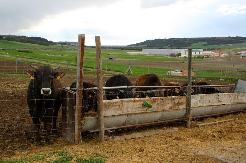 Cows at Crica Farm Valladolid