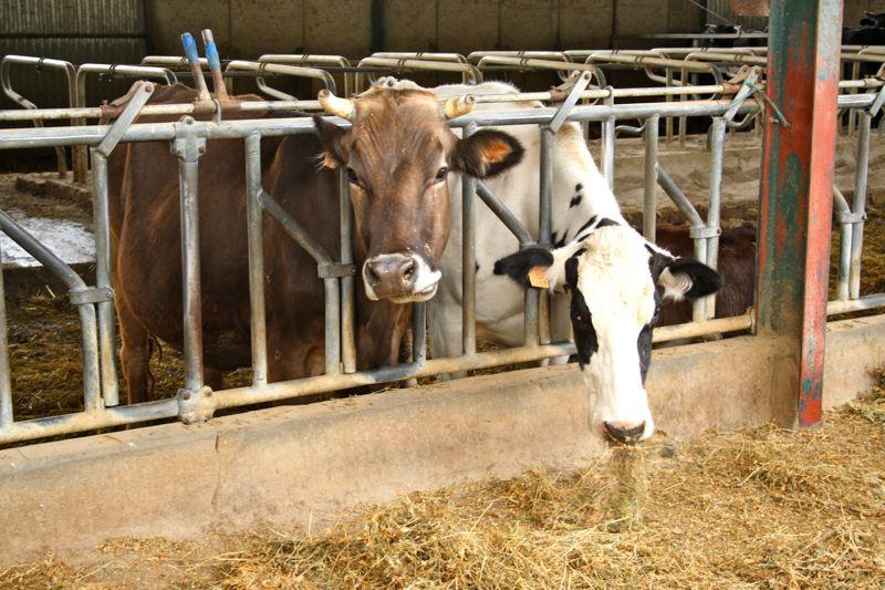 Spanish Organic Milk Farm Cows