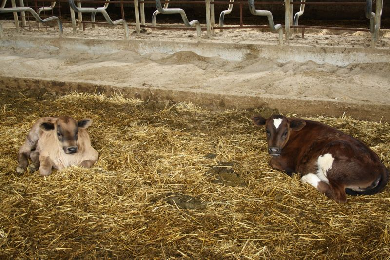Baby cows at Crica Farm