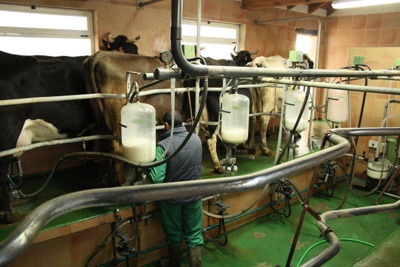 Miling Cows in Spain