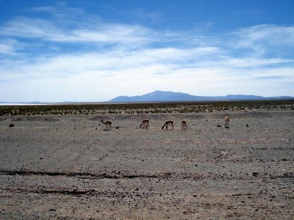 Alpacas Argentina