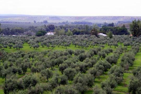 Jaen olive groves