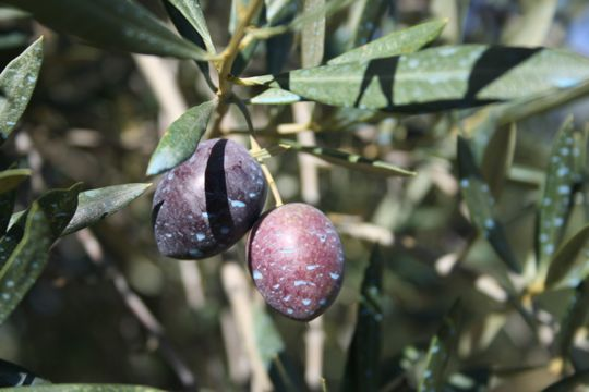 Olive Fruits Jaén Spain