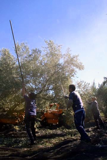 Collecting Olives in Jaen