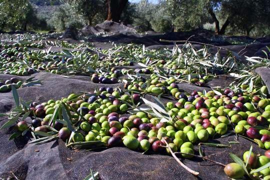 Olives on nets