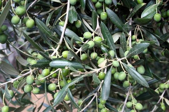 Fuerteventura olive oil Verdial