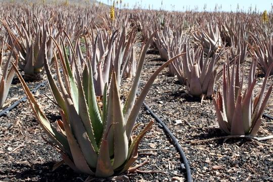 Aloe Fuerteventura