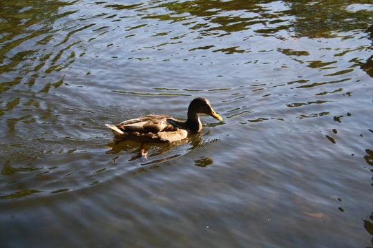 Duck in pond at Capricho Park Madrid