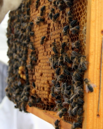 honey bee visit Muria