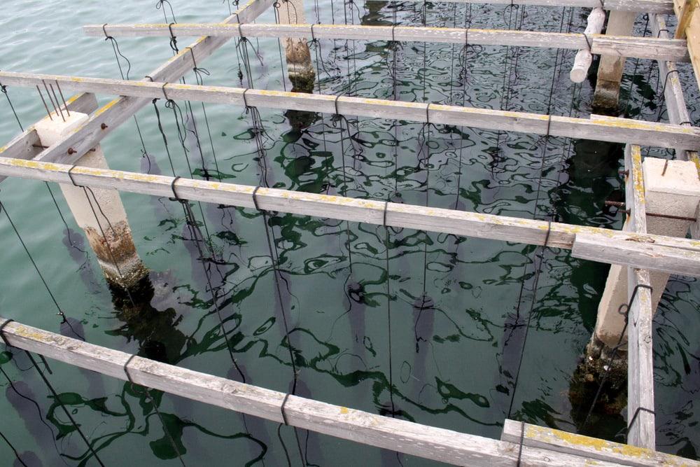 Musclarium Spanish Ebro River oysters