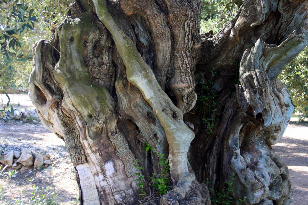 oldest olive trees
