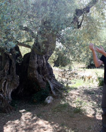 world's oldest olive trees
