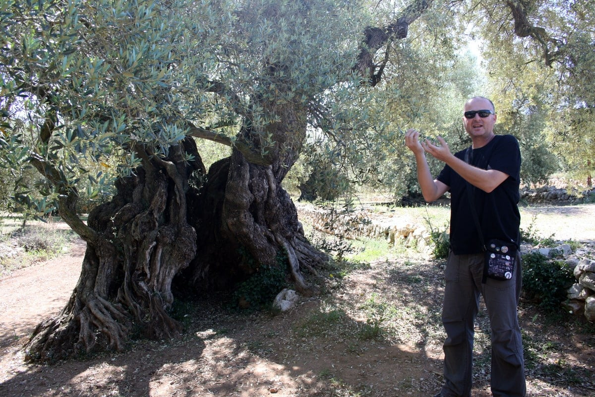 world's oldest olive trees