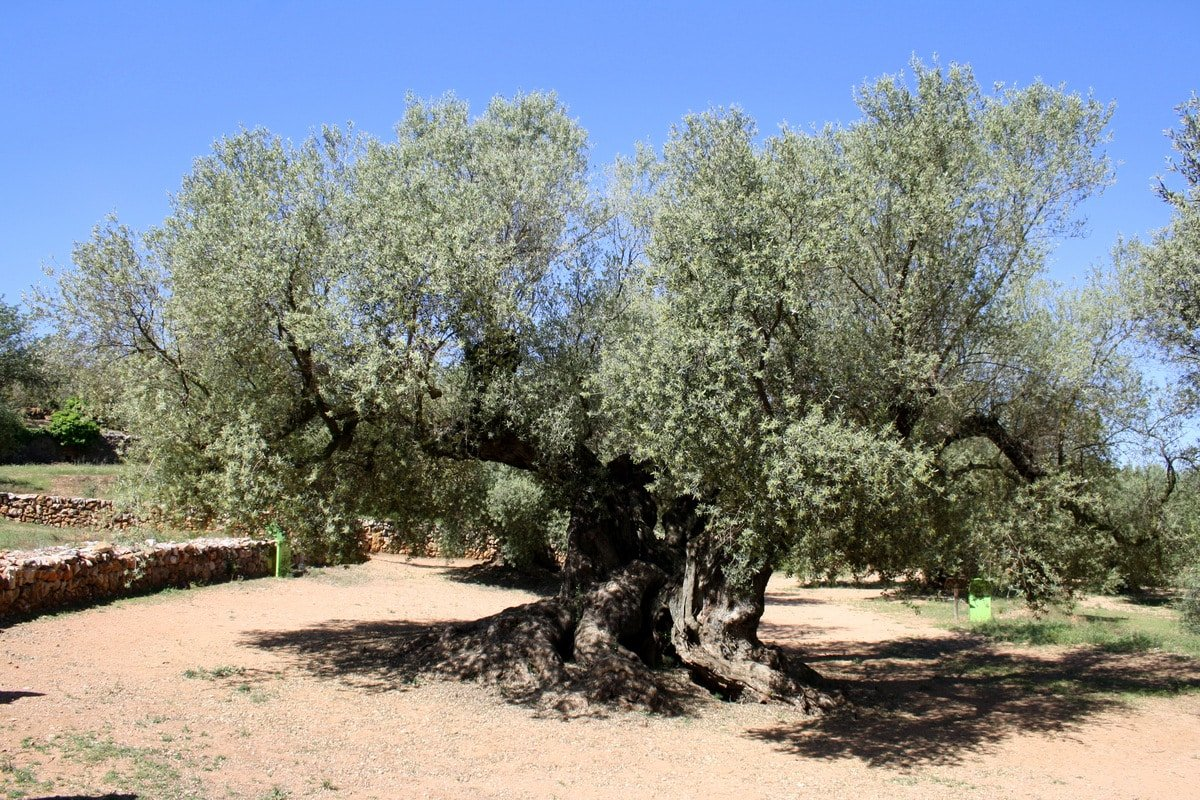 oldest olive tree in spain