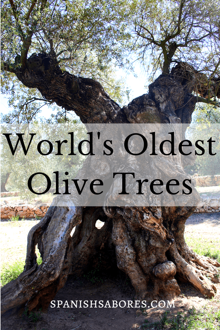 Visiting the World's Oldest Olive Trees article on Spanish Sabores
