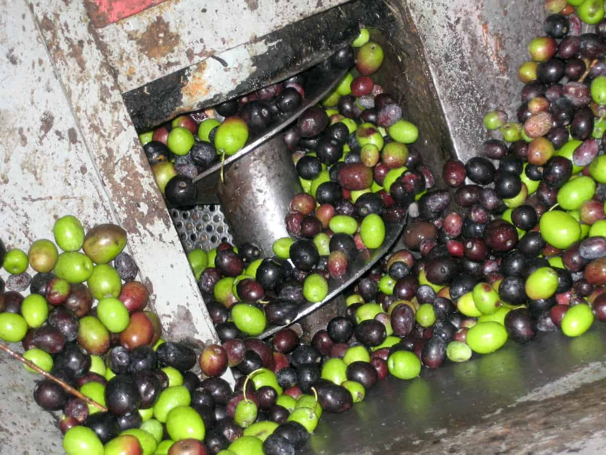 Overhead shot of bright green and dark purple olives passing through an olive press.