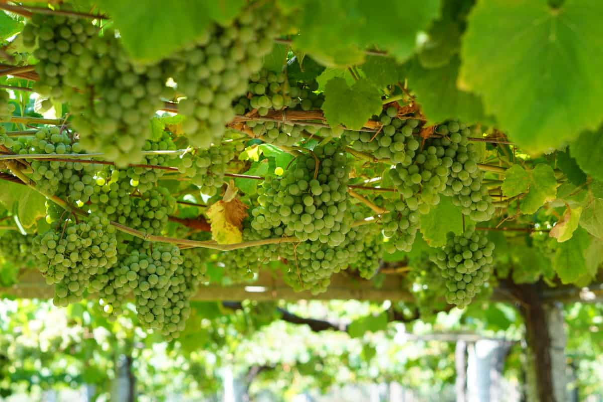 White grapes growing at a vineyard