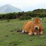 Road trip Asturias cows in Covadonga