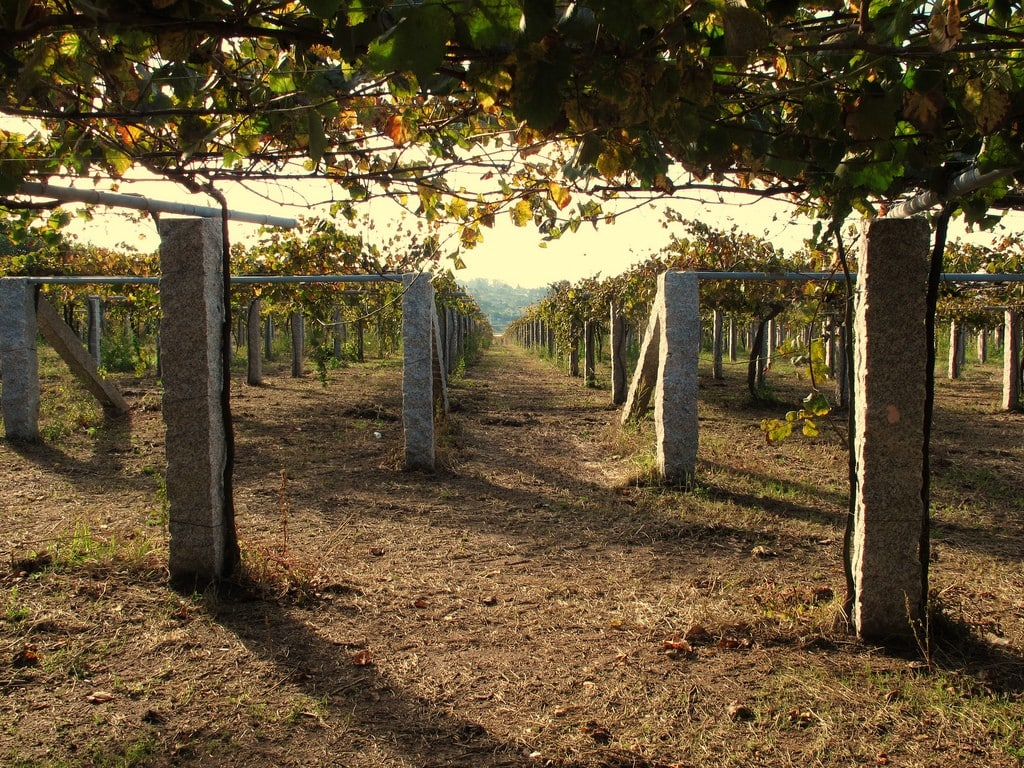 Godello vineyards, where some of the best Spanish white wine is made!