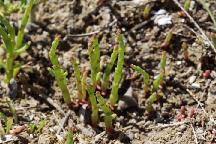 Sea asparagus or salicornia in Baie de Somme France.