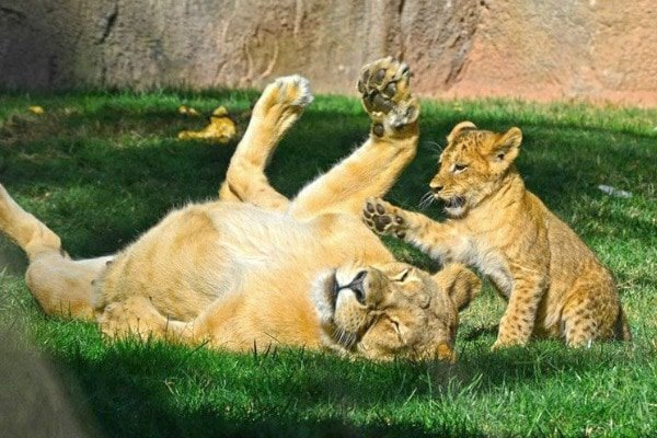 Come visit Bioparc Valencia! This fun zoo and its amazing animals are some of our favorite things to see in Valencia.