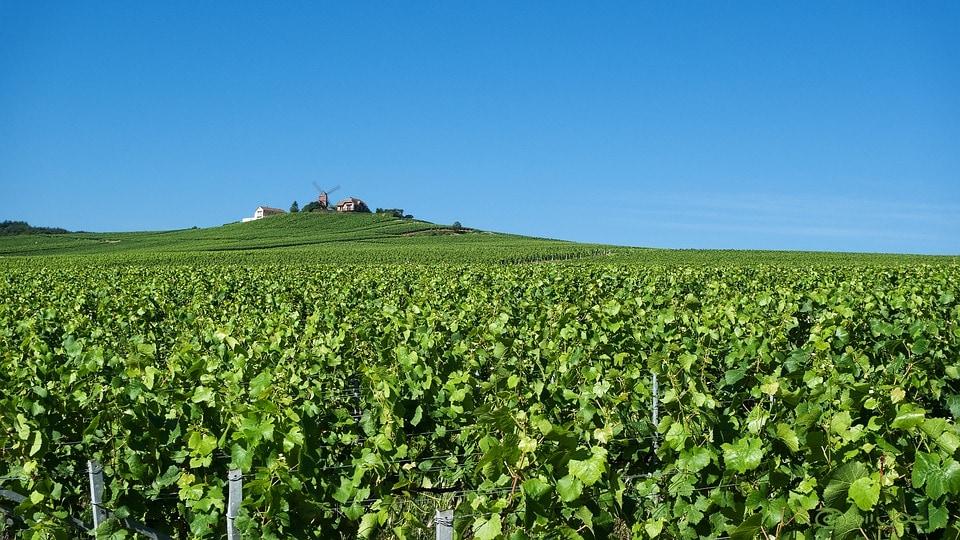 vineyards near Reims, in Champagne.