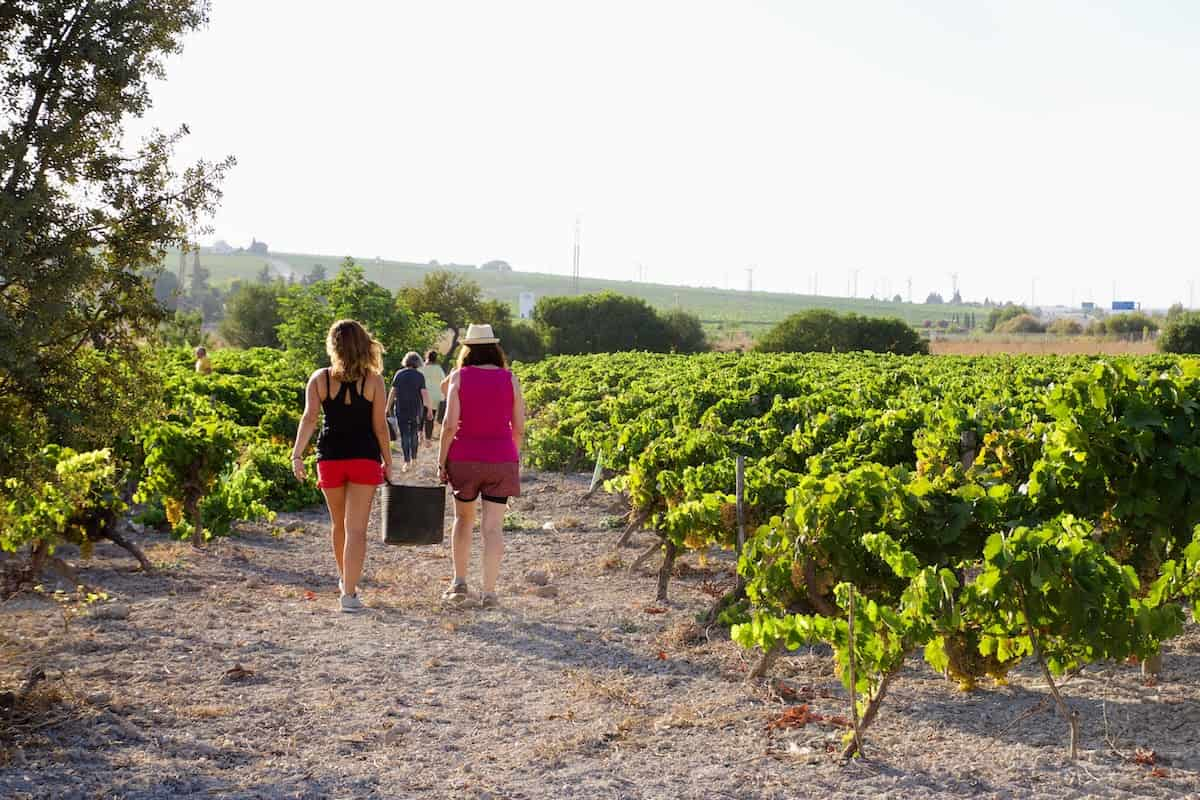People walking among the vines in a sunny vineyard.