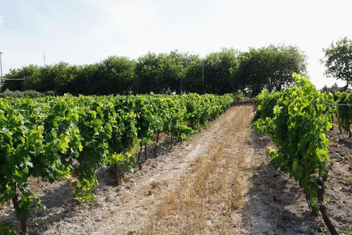 Rows of vines in a vineyard.